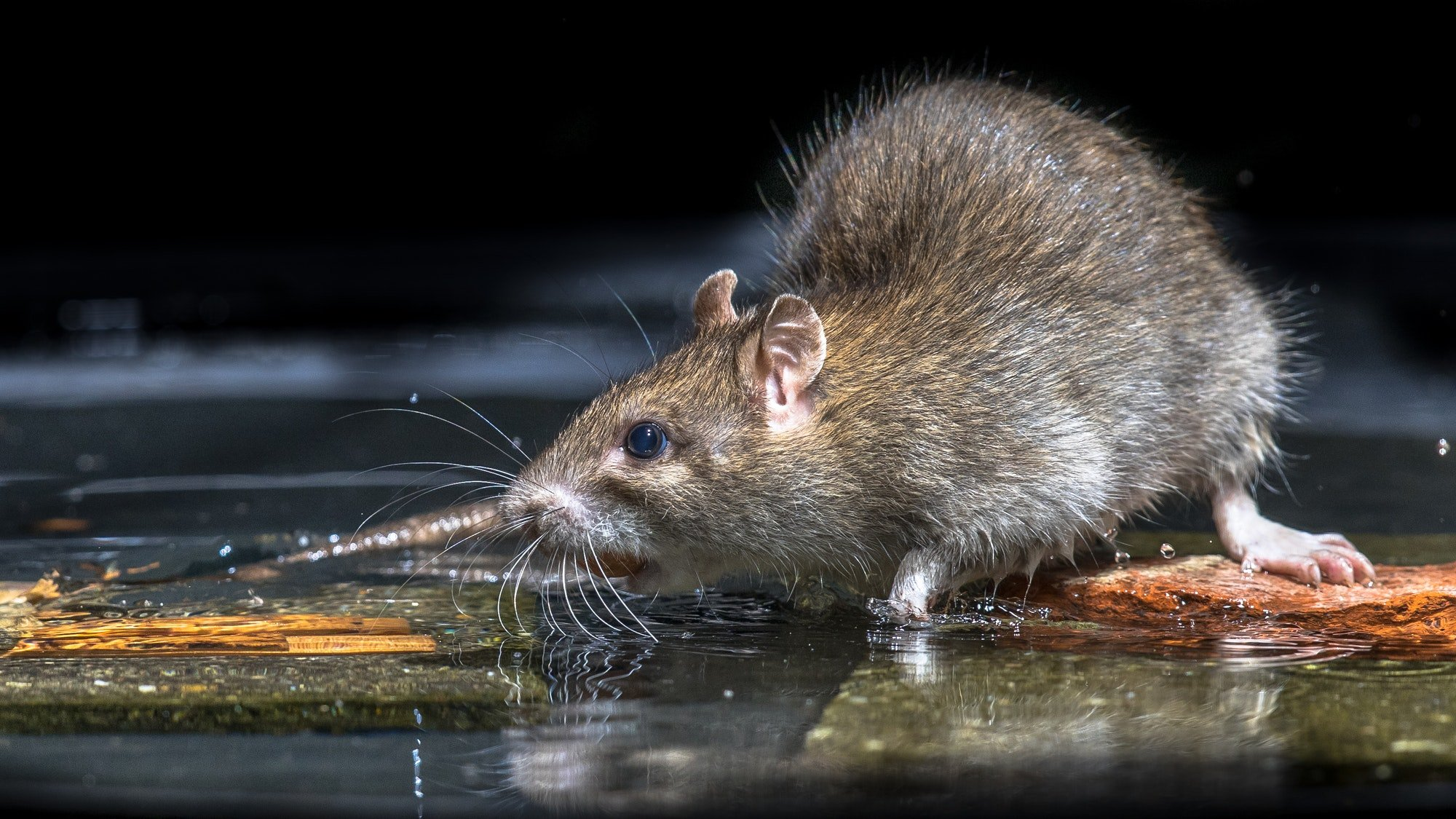 Close up of Wild brown rat in water